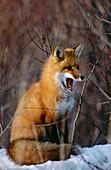 Red Fox (Vulpes vulpes). Ontario. Canada