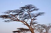 Acacia trees and raising moon. Masai Mara. Kenya