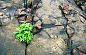 Red maple (Acer rubrum) seeding growing from crack in rock