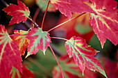 Red maple tree (Acer rubrum) leaves in early autumn. Walden. Ontario. Canada