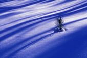 Morning tree shadows on fresh snow with protruding red pine, winter patterns. Lively, ON, Canada