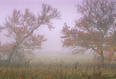 Fog-shrouded trees at edge of pasture in Cades Cove, Southern Appalachian rural scene. Great Smoky Mountains NP, TN, USA