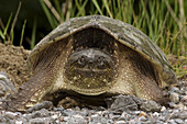 Snapping turtle (Chelydra serpentina), spring roadside specimen laying eggs. Killarney, ON, Canada
