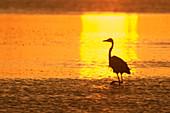 Great blue heron (Ardea herodias) hunting in lagoon at dawn. St. Petersburg, FL, USA