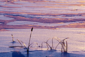 Late afternoon light on ice and snow patterns with ice covered cattail near Kelly Lake. Sudbury. Ontario, Canada