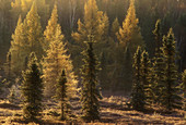 Frosted tamaracks and spruce in wetland at dawn. Lively. Ontario, Canada