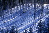 Birch tree shadows on hillside in early winter with spruce trees. Lively. Ontario, Canada