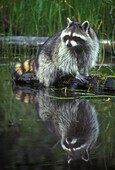 Adult raccoon (Procyon lotor) posed on log in wetland habitat. Native to continental US.