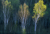 Three birch trees in early spring foliage glowing in afternoon light at base of hill. Sudbury. Ontario. Canada.