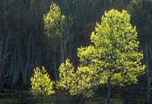 Poplar trees with early spring foliage against shadowed hillside. Sudbury. Ontario. Canada.