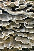 False turkey tail fungus (Stereum ostrea). Fruiting bodies on decaying log. Killarney Provincial Park, Ontario