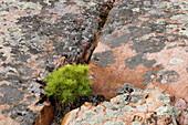 White pine (Pinus strobus) and lichen-coated granite. Killarney Provincial Park, Ontario