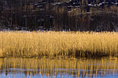 Reed colony reflected in Robinson Lake in spring flood. Sudbury, Ontario, Canada