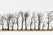 Shelter belt trees with fresh snow. Cadillac, Saskatchewan, Canada