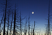 Moon and wetland snags before dawn. Bruce Peninsula National Park, Ontario, Canada