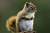 Red squirrel, (Tamiasciurus hudsonicus). Alert individual posed on woodpile