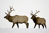 Elk (Cervus elaphus). Domesticated bulls/stags jousting in snowy pasture