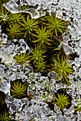 Hair Cap Moss (Polytrichium Commune) with crust of early winter snow