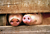 Two pigs snouts