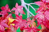 Japanese Maple leaves (Acer Palmatum) in fall