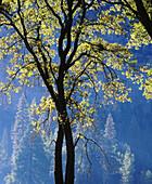 Oak tree in Yosemite Valley. Yosemite National Park. California. USA