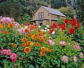 Dahlias frame garden cottage, Shore Acres State Park. Southern Oregon coast, USA