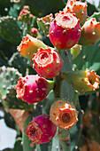 Opuntia Lindheimeri Cactus in bloom