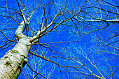 Autumn, Bare, Blue sky, Bold, Braches, Branch, Cold, Color, Colour, Concept, Concepts, Conceptual, December, Fall, Forrest, Freezing, November, Season, Seasons, Skies, Sky, Tree, Trees, Trunk, Weather, Winter, Wood, Woods, K50-460718, agefotostock