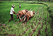 Bassi Mendha.The traditional procedure of ploughing up a direct sown field of paddy after the crop is about a foot high. This is to suppress the weeds