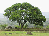 Mango tree in an agricultural land