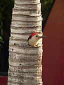 Red Bellied Woodpecker - (Melanerpes carolinus)