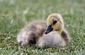 Gosling, Canada Goose (Branta canadensis)