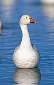 Snow Goose (Chen caerulescens). Bosque del Apache National Wildlife Refuge. New Mexico. USA