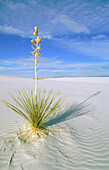 Soaptree Yucca (Yucca elata). White Sands National Monument. New Mexico. USA
