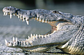 American crocodile (Crocodylus acutus). Everglades National Park. Florida. USA