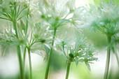 Wood garlic (Allium ursinum). Sweden.