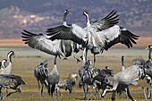 Cranes flying. Spain