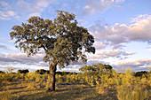 Holm Oak in Cornalvo Natural Park. Extremadura, Spain