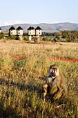 Baboon in grass, Sarova Salt Lick Lodge in background, Taita Hills Game Reserve, Coast, Kenya
