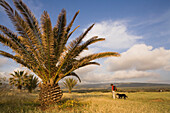 Woman hiking across a meadow with palm trees, Lefkara, Akamas Nature Reserve Park, South Cyprus, Cyprus