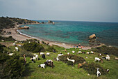 Coastal landscape with a herd of goats, people on the beach below, near the Baths of Aphrodite, Akamas Nature Reserve Park, South Cyprus, Cyprus