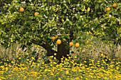 Orange grove near Baths of Afrodite, Akamas Nature Reserve Park, South Cyprus, Cyprus
