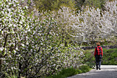 Woman hiking along trail with cherry blossoms, Prodromos, Troodos mountains, South Cyprus, Cyprus