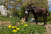Donkey in a field, Agriculture, Koilani, Troodos mountains, South Cyprus, Cyprus