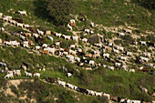 Goat herd on a mountain landscape, Agriculture, near Dora, Troodos mountains, South Cyprus, Cyprus