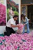 Man and girl filling sacks of rose petals, Rosewater production, Chris Tsolakis Rose Products, Agros, Pitsilia region, Troodos mountains, South Cyprus, Cyprus