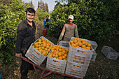Two men carrying baskets full of oranges, Orange harvest, orange grove, agriculture, Güzelyurt, Morfou, North Cyprus, Cyprus