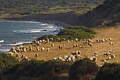 A flock of sheep at the coast, Agriculture, near Dipkarpaz, Rizokarpaso, Karpasia, Karpass Peninsula, North Cyprus, Cyprus