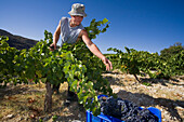 Man picking grapes, Grape harvest, vintage, Tsiakkas Winery, Troodos mountains, Cyprus