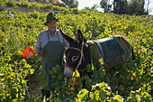 A man picking grapes, Donkey, Grape harvest, Vasa village, Troodos mountains, Cyprus